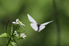 white butterfly writerscafe org the writing community