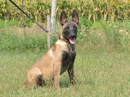 belgian shepherd dog for sale echo belgian malinois puppy for sale euro puppy