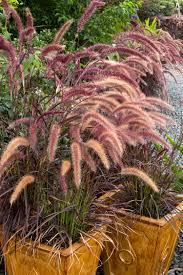 native georgia plants purple fountain grass monrovia purple fountain grass