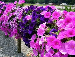 petunia flowers petunia plant growing and caring for petunias