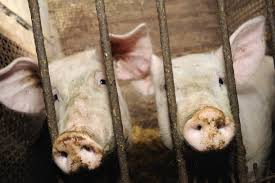 why the pig is the most loved and most loathed animal on the plate