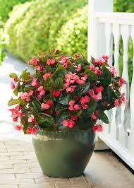 best 25 annual flowers ideas on pinterest perennial flowering