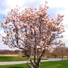 magnolia trees for sale fast growing trees