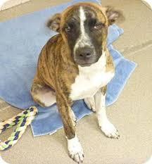 boxer dog for adoption justin adopted dog phoenix az boxer australian shepherd mix