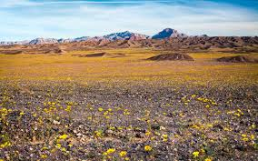 Anza Borrego Wildflowers Super Bloom by California U0027s Winter Rains Could Mean Great Desert Wildflowers