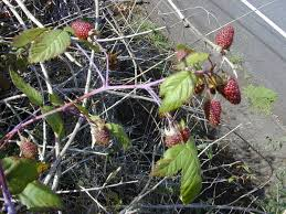 native plants of south america rubus glaucus wikipedia