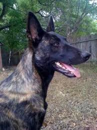 belgian shepherd dog rescue care and training of a search u0026 rescue dog meet stryker