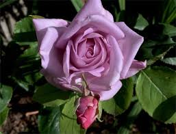 Lavender Roses Lavender Roses Meaning And History Purple Roses