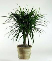 Low Light Indoor Flowers Dracaena Janet Craig Houseplants Rarely Flower Indoors Http Www