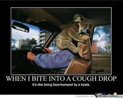 High Koala Meme - deluxe high koala meme funny koala bear memes kayak wallpaper