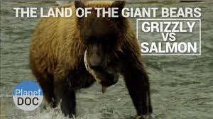 Animal Planet Documentary Grizzly Bears Full Documentaries - the land of giant bears grizzly vs salmon naturaleza planet doc