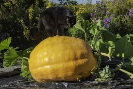 how growing giant pumpkins is really about growing communities