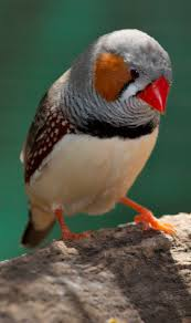 zebra finch facts as pets care temperament pictures singing