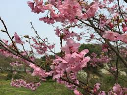 free images branch flower produce natural cherry blossom