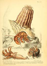 the 40 year old hermit crab atlas obscura