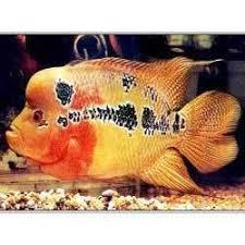 malas aquarium fish farms breeder wholesaler chennai exporter