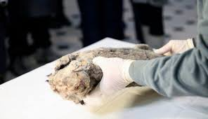 extinct cave lion perfectly preserved 50 000