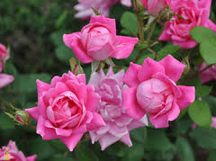 roses colors knock out roses colors variety and care the planting tree
