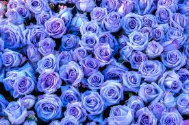 purple roses blue and purple roses purple roses background photograph connie