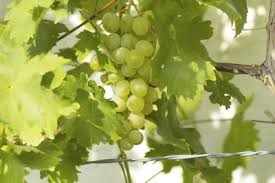 Planting Grapes In Backyard How To Grow Grapes Planting Grapevines In The Garden