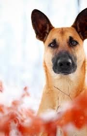 belgian shepherd temperament belgian malinois dog breed information pictures characteristics