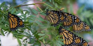 monarch butterflies take their miraculous journey to mexico for winter