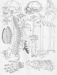 anatomy of a bone coloring key human anatomy labelled