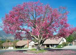 floss silk tree is quite a show the fillmore gazette