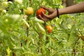 organic vegetable garden at amrita university amma mata