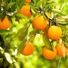best 25 orange tree for sale ideas on diy clothes
