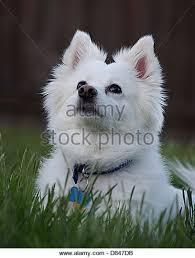 american eskimo dog vector eskimo dog stock photos u0026 eskimo dog stock images alamy