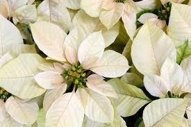 white poinsettia 10 poinsettia points to ponder plantscapers