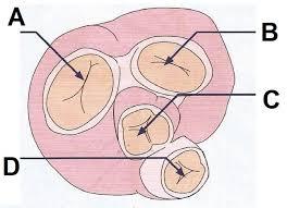 Human Ear Anatomy Quiz L3 Anatomy U0026 Physiology Revision Quiz 1 Pure Training And