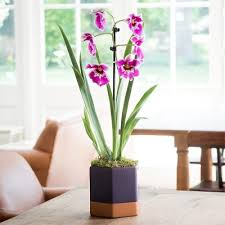 Orchid Plant Orchids Delivered Blossoming Gifts Flower Delivery