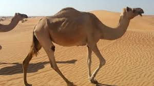 thar desert animals wild camel dubai desert youtube