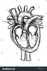 pen sketch human heart main veins stock vector 625683791