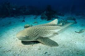 shark gives rare u0027virgin birth u0027 to three pups