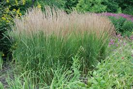 three mid sized ornamental grasses for small gardens what grows