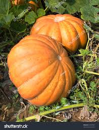 plant pumpkin vegetable garden ripe fruits stock photo 47405503