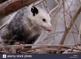 opossum marsupial possum possums mammal ohio stock photo royalty