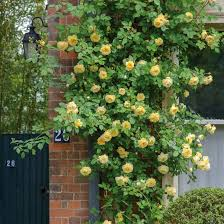 Climbing Plants For North Facing Walls - teasing georgia highly recommended popular searches