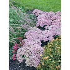 Rock Garden Perennials by Sedum Perennials Garden Plants U0026 Flowers The Home Depot