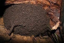 the rockefeller university pictures of ants