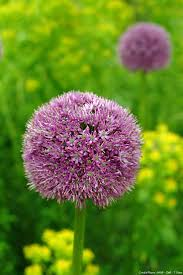 arbuste feuillage pourpre persistant les 10 meilleures idées de la catégorie arbuste persistant sur