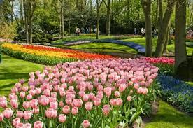 the line keukenhof gardens tour and tulip farm visit from amsterdam