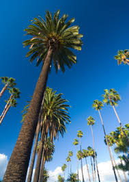 why don t palm trees in the wind arizona oddities