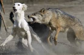 terrierman s daily dose the stolen wolves of kazakhstan