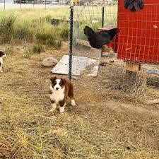 lazy d ranch australian shepherds 24 best mini aussies images on pinterest miniature australian