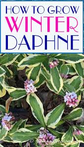 how to grow a daphne plant that will fill your garden with fragrance