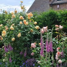 Fragrant Climbing Plant - very fragrant climbing rose